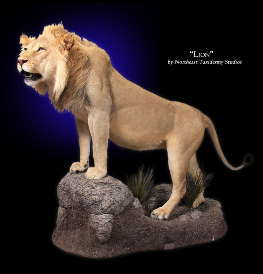 African Lion Mounts