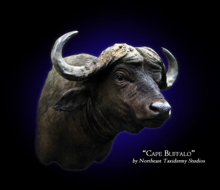 Cape Buffalo Mounts
