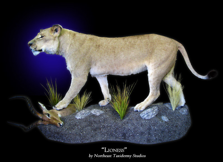 African Lioness Mounts