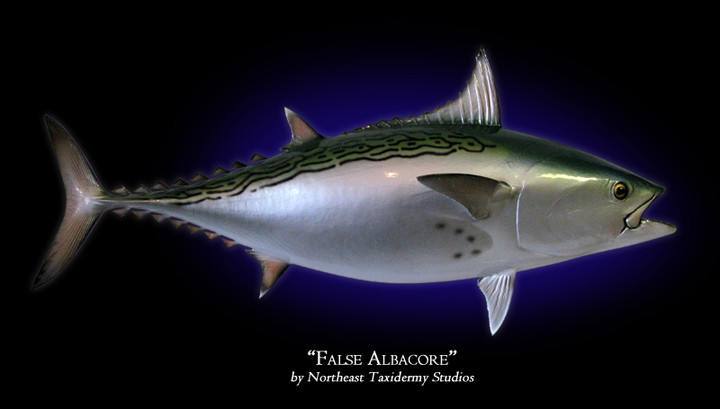 False Albacore (Bonita)