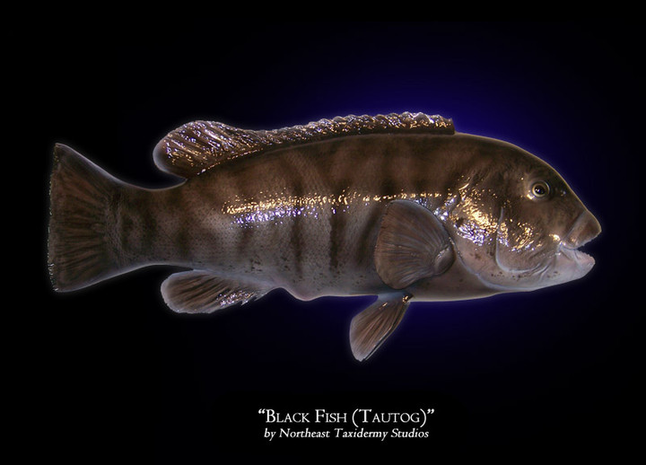 Black Fish (Tautog)