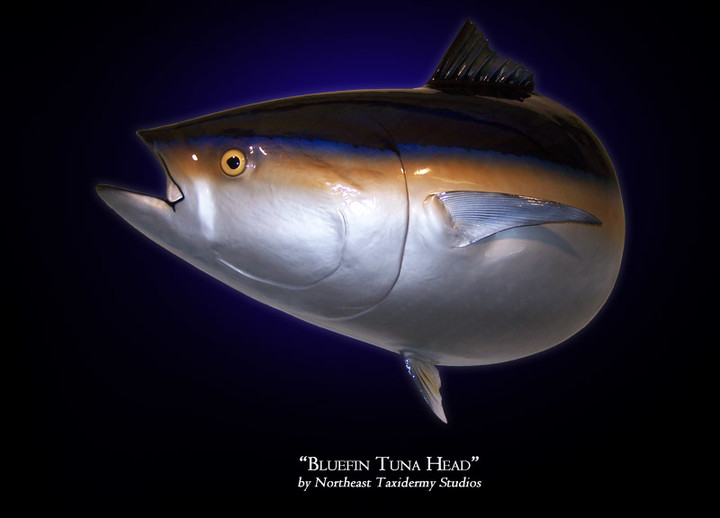Bluefin Tuna Head