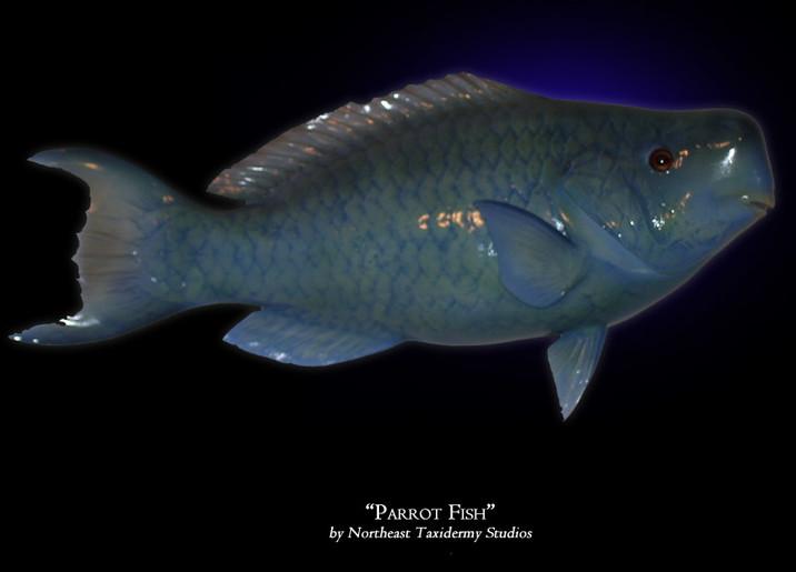 Parrot Fish Mounts