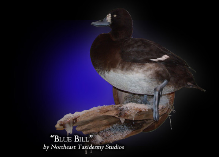Blue Bill Mounts