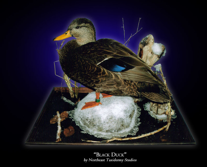 Black Duck Mounts