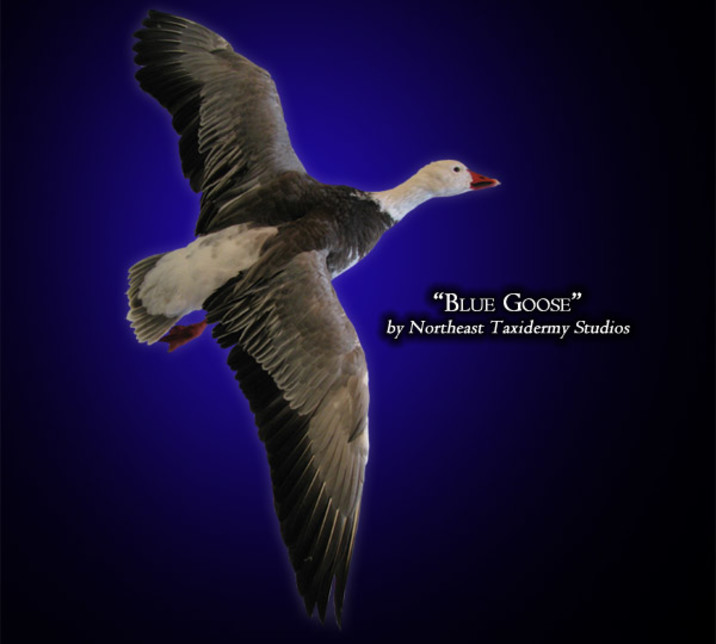 Blue Goose Mounts