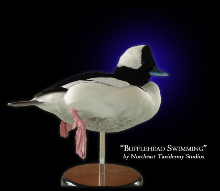 Bufflehead Swimming Mounts