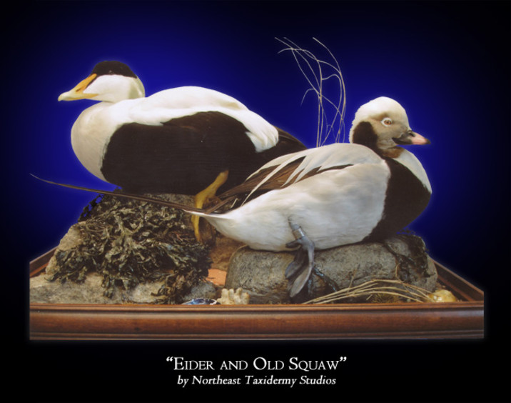 Eider and Old Squaw Mounts