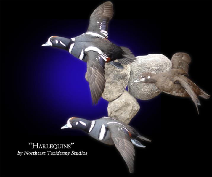Harlequins Mounts