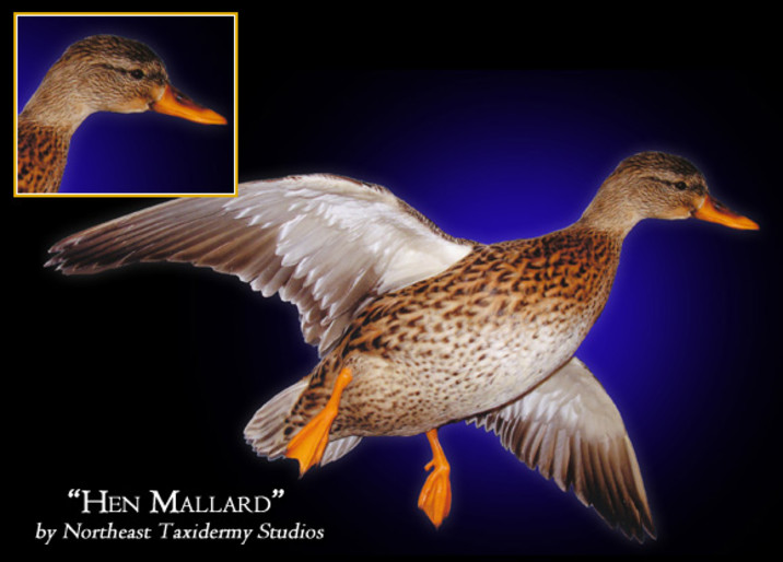 Hen Mallard Mounts