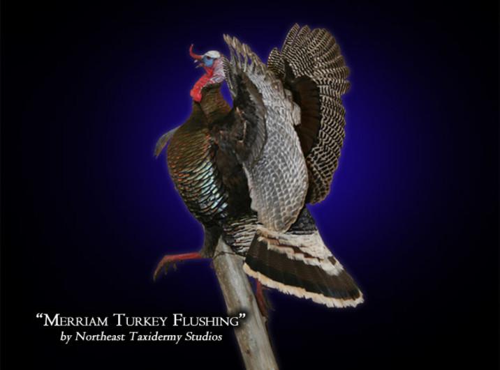 Merriam Turkey Flushing Mounts