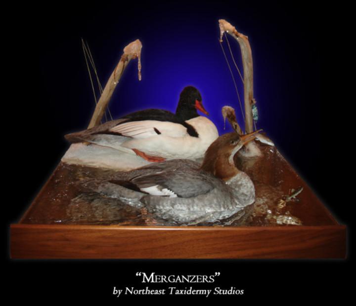 Mergansers