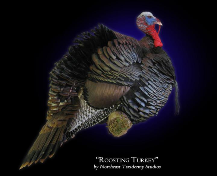Roosting Turkey