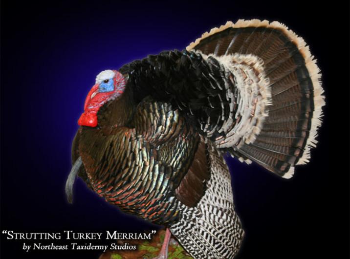 Strutting Turkey Merriam Mounts