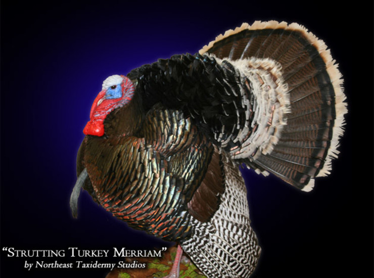 Strutting Turkey Merriam Mounts