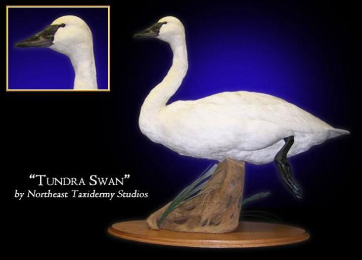 Tundra Swan Mounts