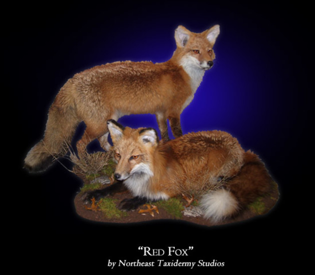 Red Fox Mounts
