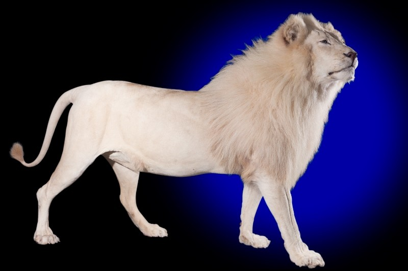African White Lion Mounts