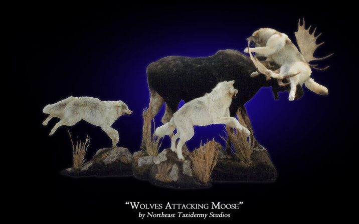 Wolves Attacking Moose Mounts