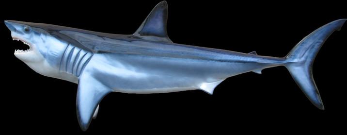 Mako Shark Mounts