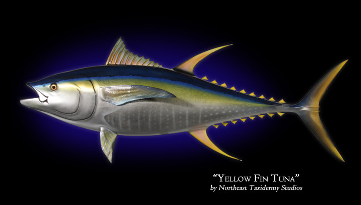 Yellowfin Tuna Mounts