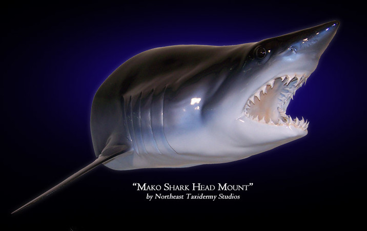 Mako Shark Head Mounts