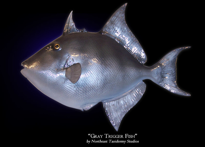 Gray Trigger Fish