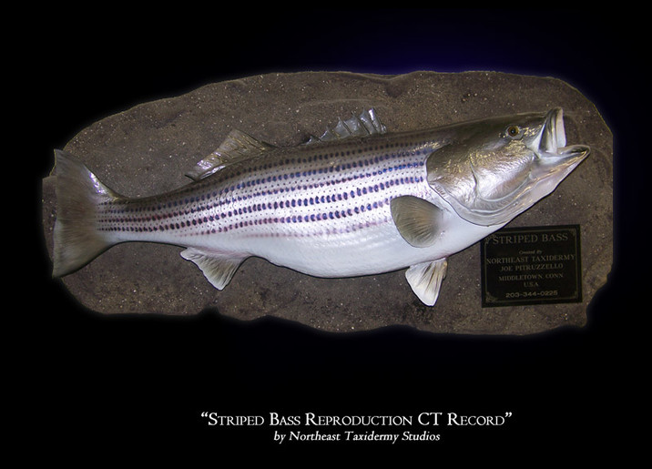 Striped Bass Mounts