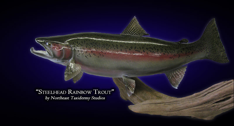 Steelhead rainbow trout mounts fish mounts by northeast for Mount this fish company