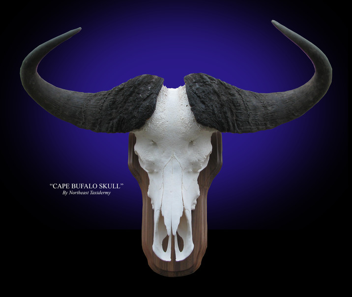 Cape Buffalo European Skull Mounts