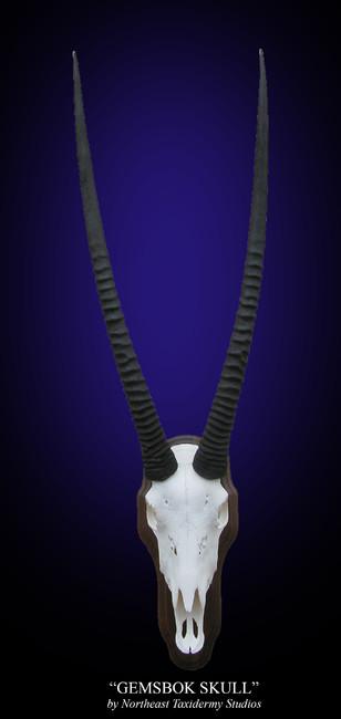 Gemsbok European Skull
