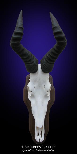 Hartebeest European Skull