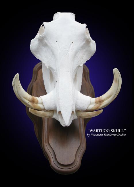 Warthog European Skull