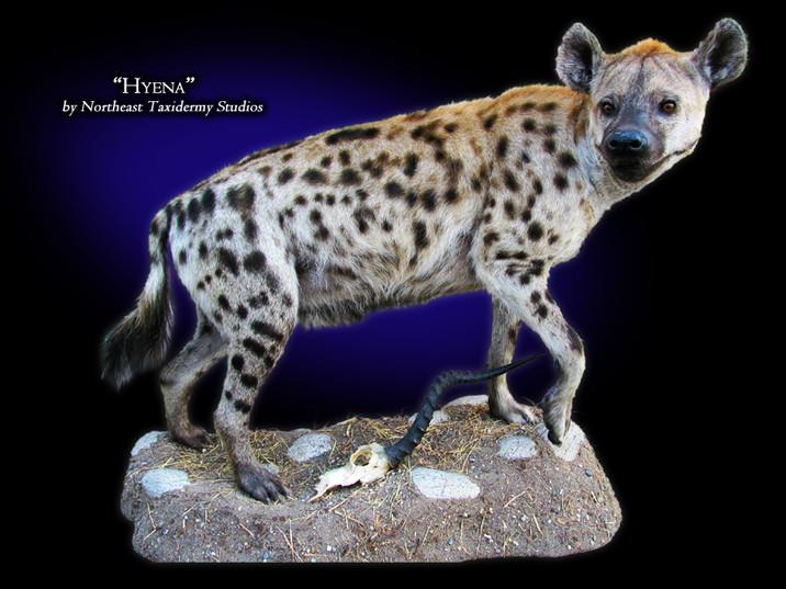 Hyena Mounts