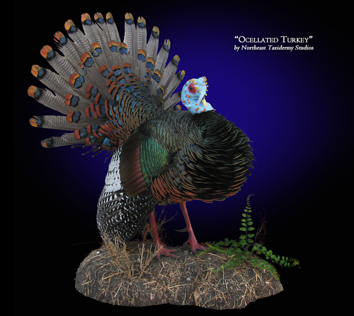 Ocellated Turkey Mounts