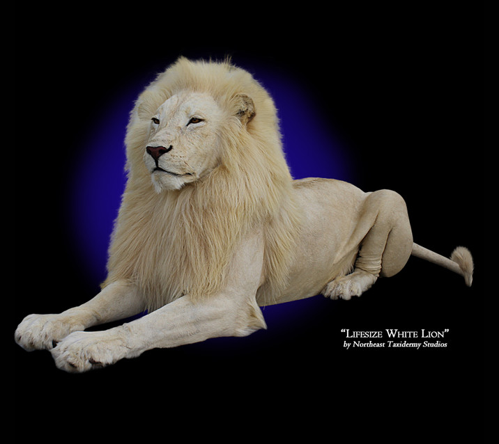 Lifesize White Lion Mounts