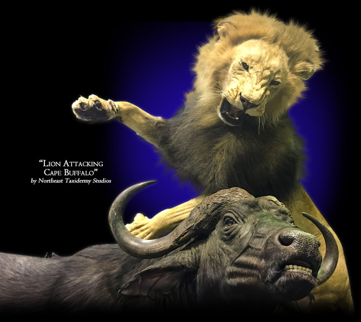 Lion Attacking Cape Buffalo Mounts