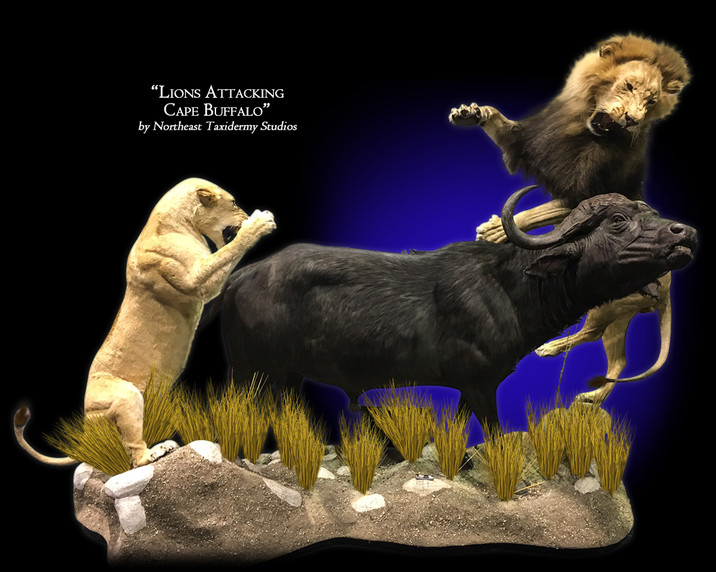 Lion Attacking Cape Buffalo Mounts