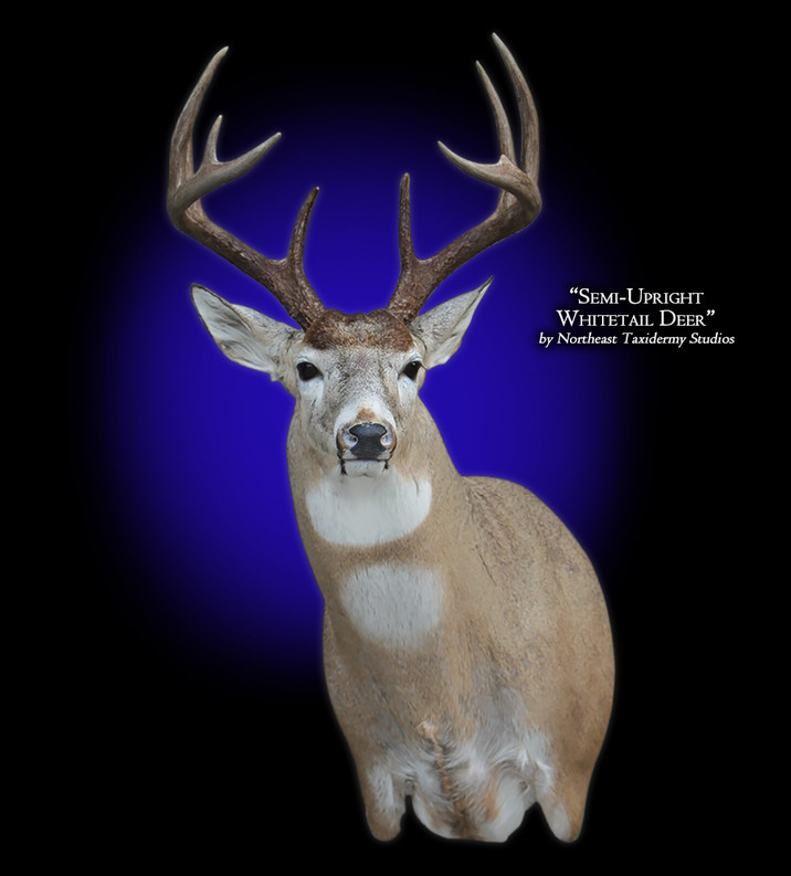 Whitetail Deer 	Semi-Upright Offset Left Mounts