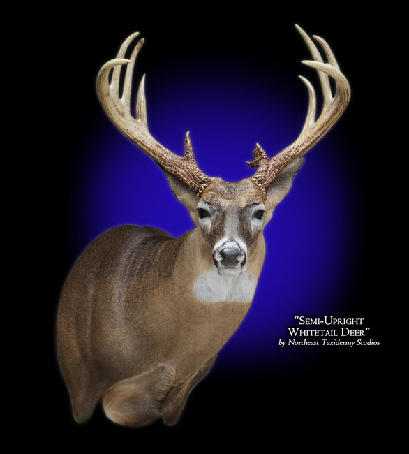 Whitetail Deer Semi-Upright Right