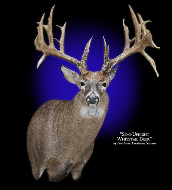 Whitetail Deer Semi-Upright Right Offset