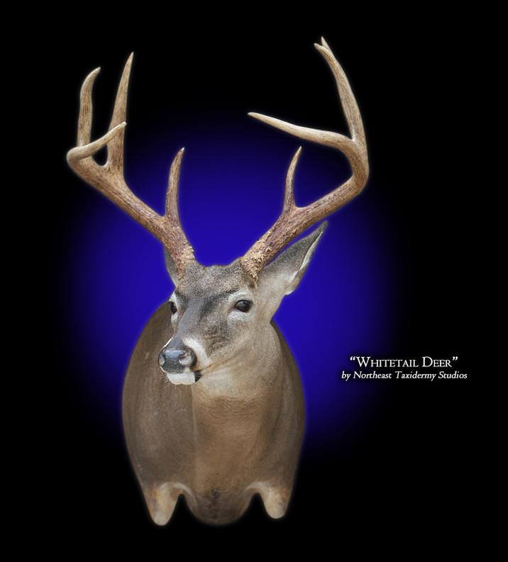 Whitetail Deer Full Sneak Right Mounts