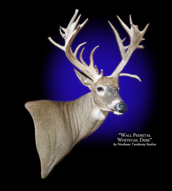 Whitetail Deer Wall Pedestal Right