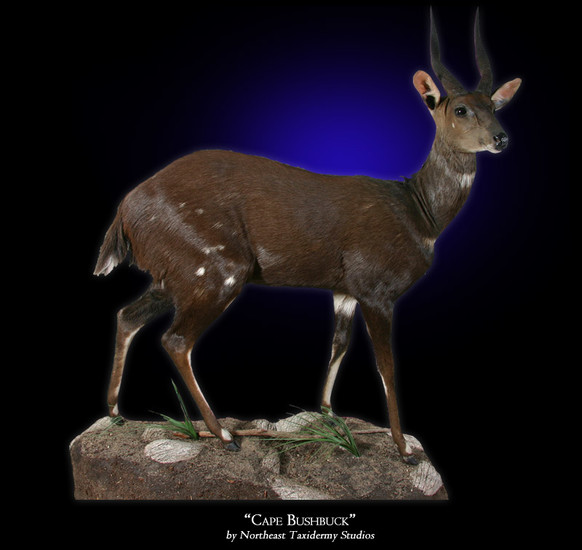 Cape Bushbuck Mounts