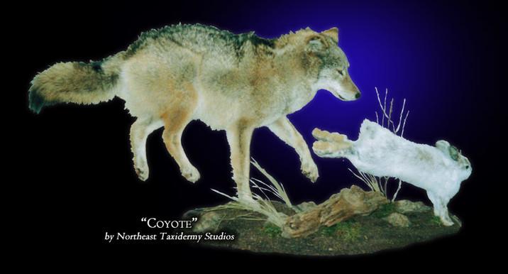 Coyote Mounts