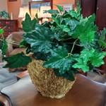 1-23767 Ivy Plant