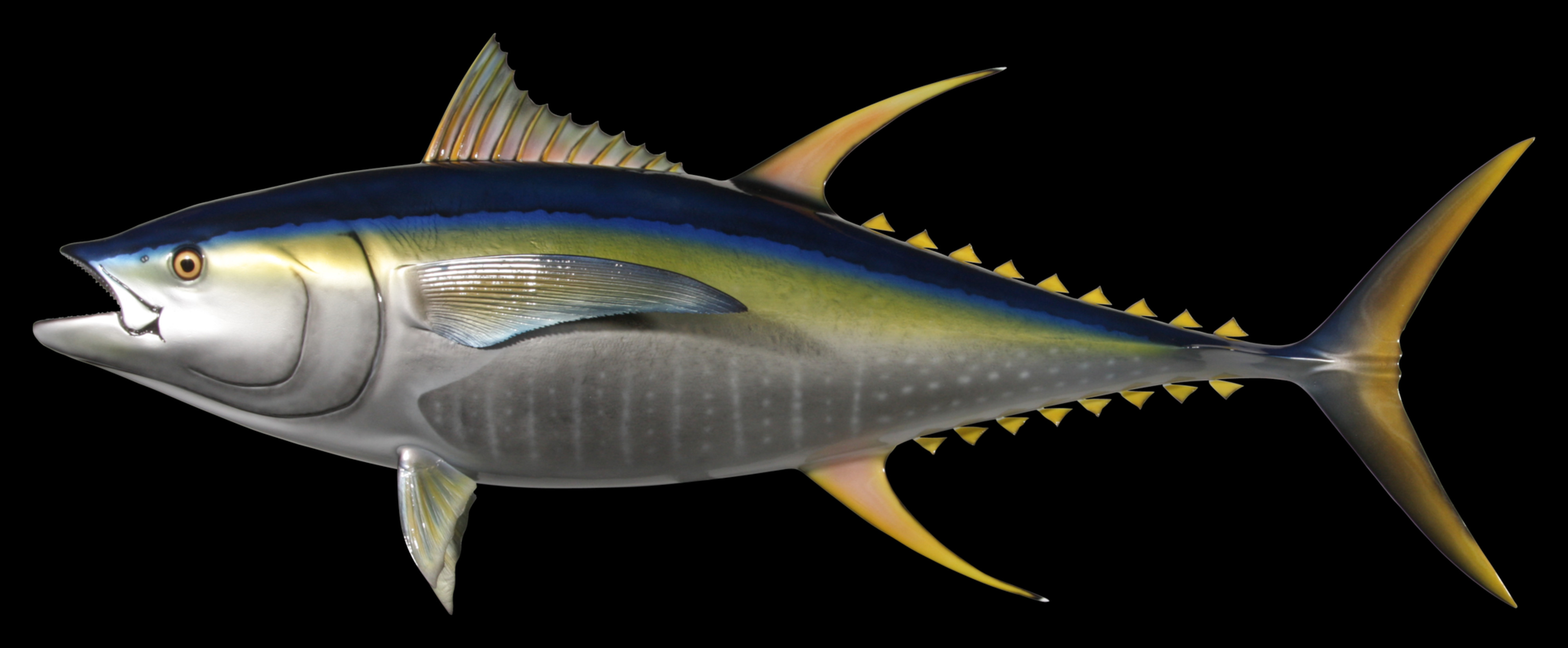 Yellowfin tuna fish mount and fish replicas coast to coast for What does a tuna fish look like
