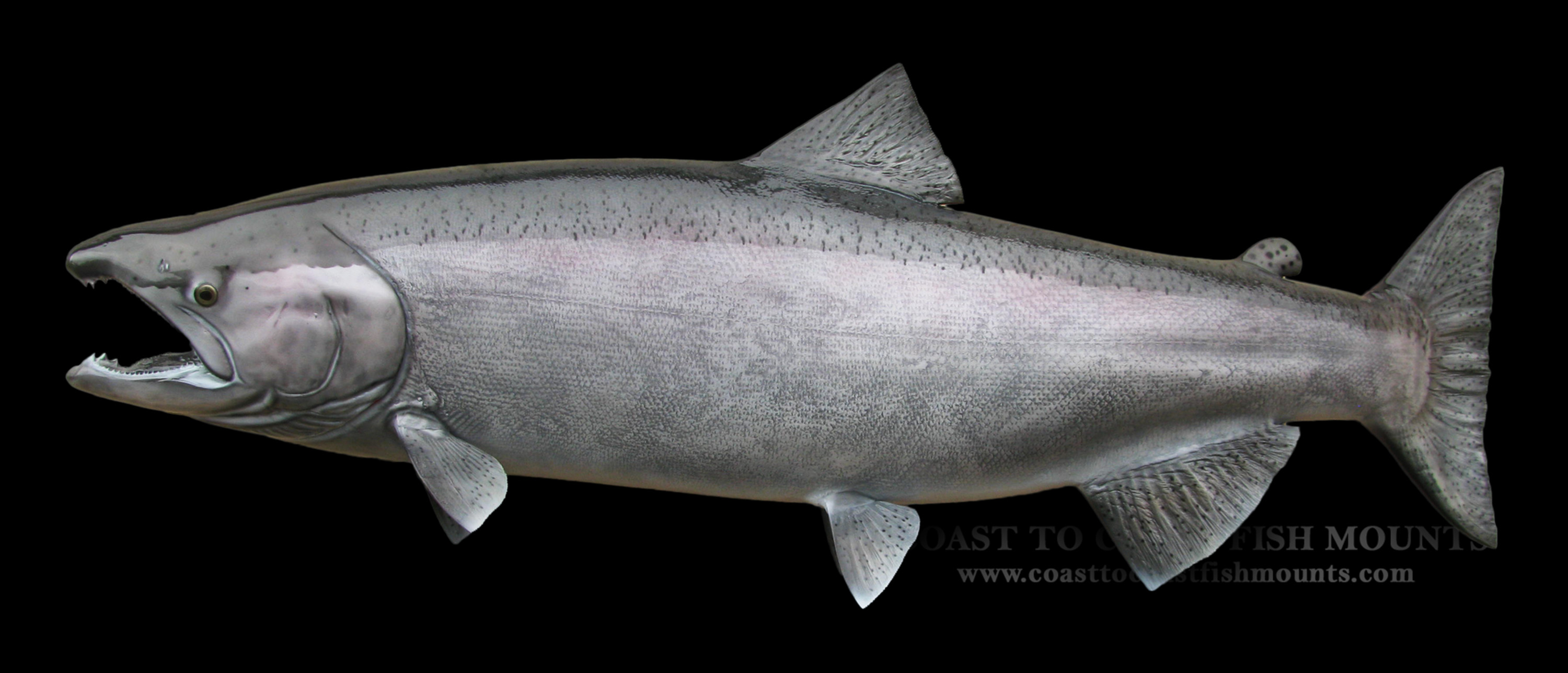 King chinnook salmon fish mount and fish replicas for Replica fish mounts