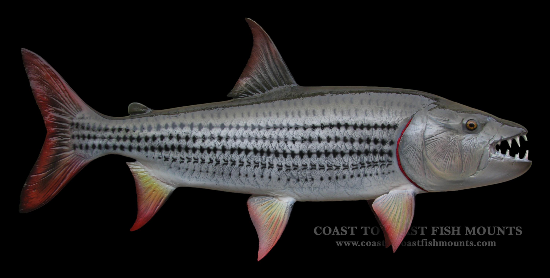 Tigerfish Fish Mount and Fish Replicas   Coast-to-Coast