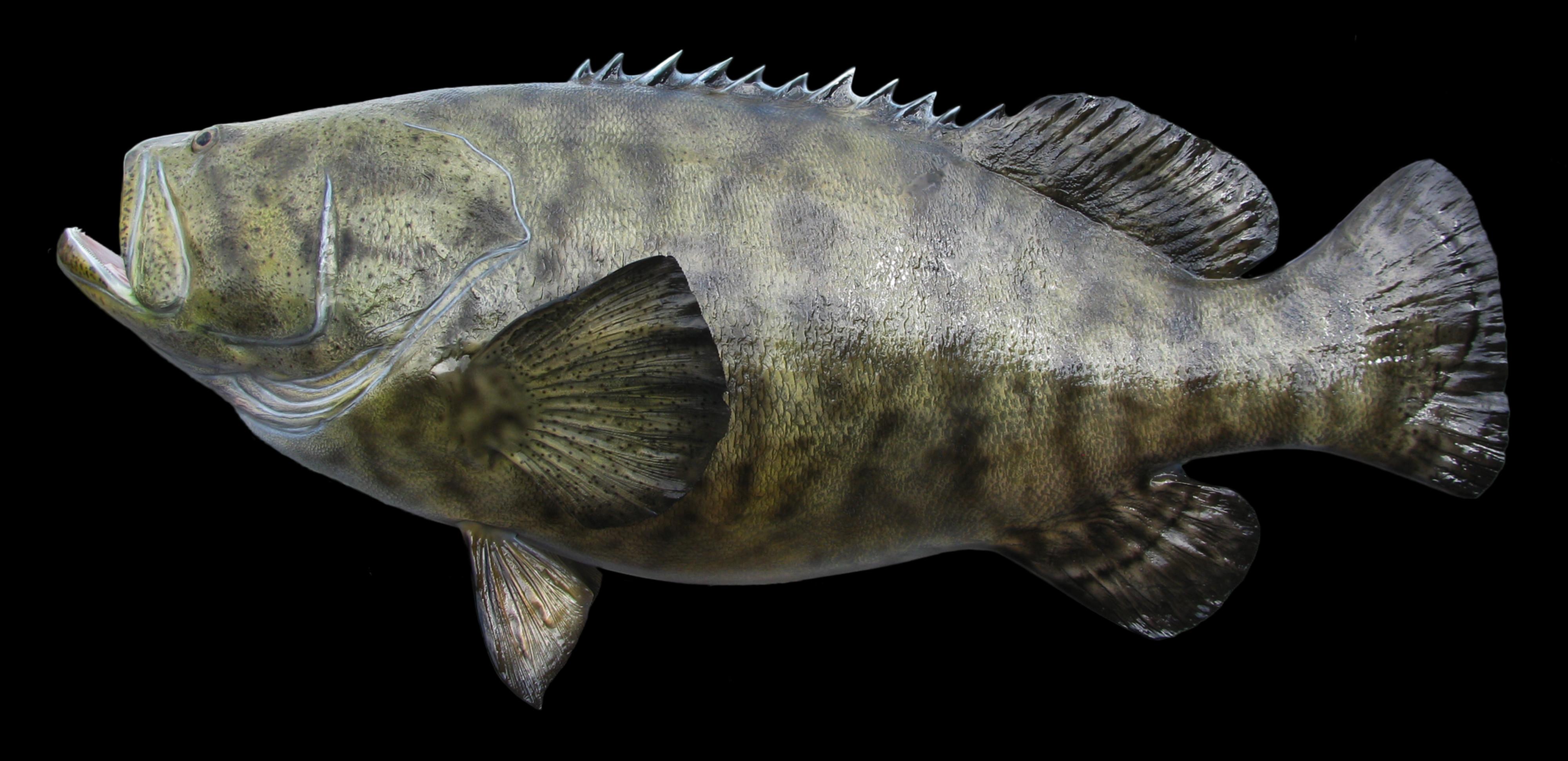 Goliath Grouper Fish Mount And Fish Replicas Coast To Coast